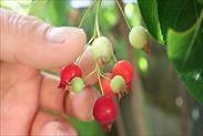 ジューンベリーの果実を収穫