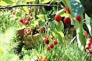 ジューンベリーの果実