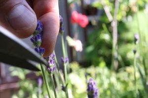 イングリッシュラベンダー収穫