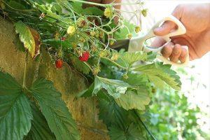 ワイルドベリーの葉収穫