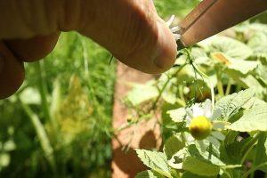 ジャーマンカモミール収穫