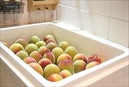 梅を発泡スチロール箱に並べる